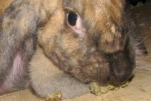 Applesauce-Pellet-Rabbit-Treats