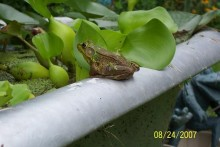 Bathtub-Frog-Pond1