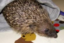 Beanie-Hat-Hedgehog-Bed