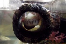 Betta-Log-Axlotl-Hide