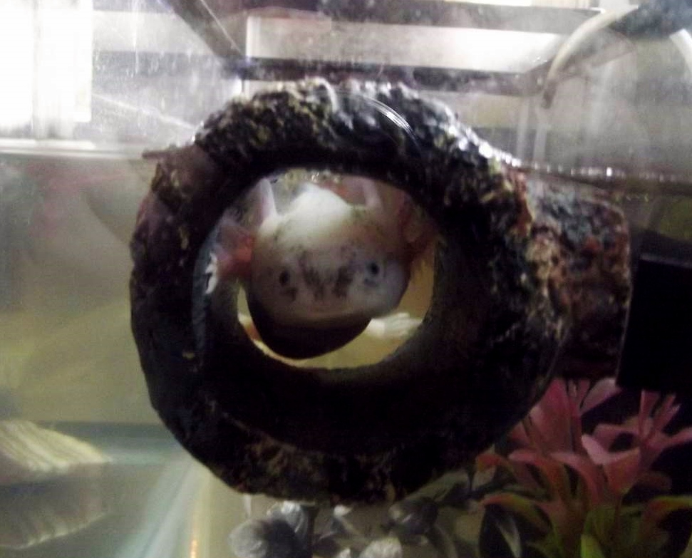 Betta log axolotl hide for Betta fish floating
