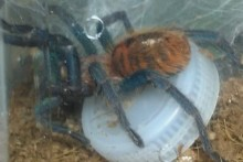 Bottle-Cap-Tarantula-Toy