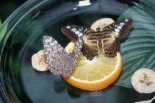 Bowl-Fruit-Butterfly-Feeder