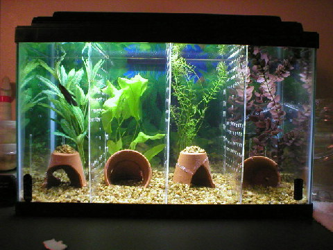 Diy Aquarium Tank Dividers 2 on oscar cichlid with fry