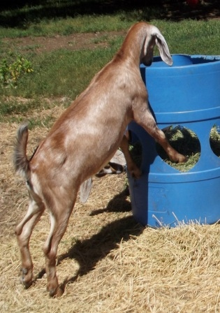 DIY Barrel Goat Hay Feeder