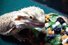 DIY-Bearded-Dragon-Salad