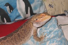 DIY-Bearded-Dragon-Toys