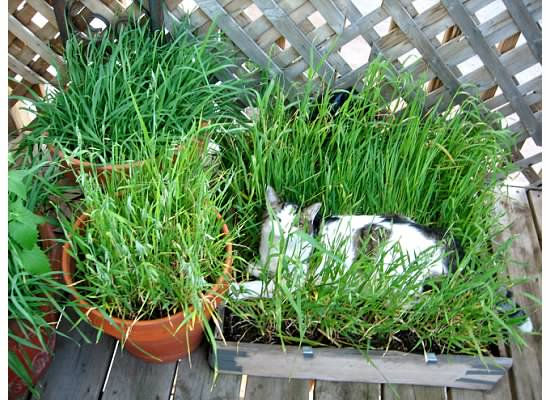 Diy cat grass box for Indoor gardening with cats