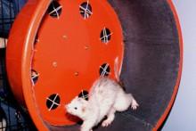 DIY-Ferret-Exercise-Wheel