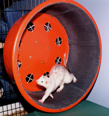Diy Ferret Exercise Wheel Petdiys Com