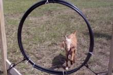 DIY-Goat-Agility-Jump