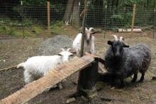 DIY-Goat-Climbing-Ramp