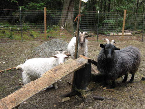 Diy Goat Climbing Ramp Petdiys Com