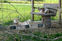 DIY-Goat-Porch-Swing