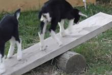 DIY-Goat-SeeSaw