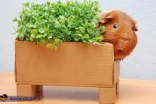 DIY-Guinea-Pig-Chia-Pet