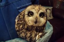 DIY-Injured-Owl-Rescue