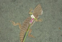 DIY-Lizard-Leash
