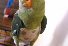 DIY-Parrot-Diaper