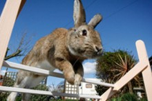 DIY-Rabbit-Agility-Training