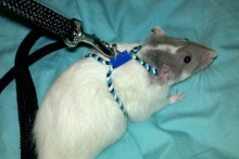 DIY-Rat-Harness