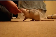 DIY-Rat-Spin-Trick-Training