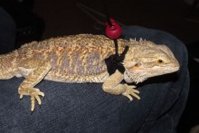DIY-Reptile-Harness