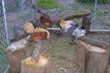 DIY-Rustic-Chicken-Jungle-Gym