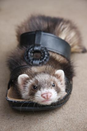 Shoe Ferret Toy - petdiys.com