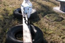 DIY-Tire-Goat-Balance-Beam