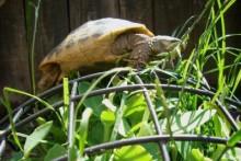 DIY-Tortoise-Friendly-Landscaping