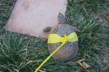 DIY-Turtle-Harness