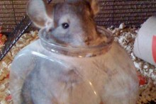 Fish-Bowl-Chinchilla-Bathtub
