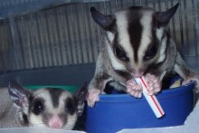 Frozen-Sugar-Glider-Treat