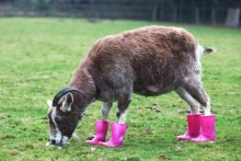 Galoshes-Hoof-Rot-Guards