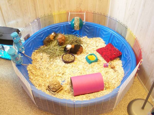 kiddie pool guinea pig cage