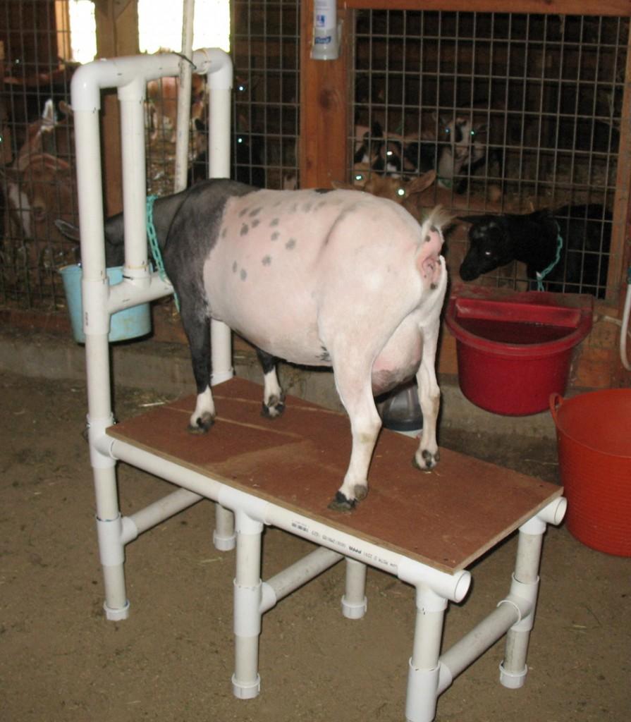 PVC Goat Milking Stand Petdiyscom