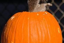 Pumpkin-Squirrel-Feeder