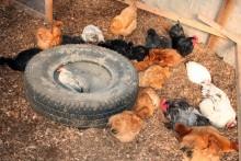 Tire-Chicken-Dust-Bath