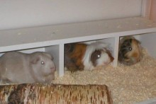 CD-Shelf-Guinea-Pig-Cubby