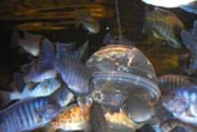Plastic-Bowl-Fish-Feeder