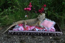 DIY-Tray-Lizard-Bed