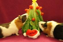 DIY-Guinea-Pig-Christmas-Tree