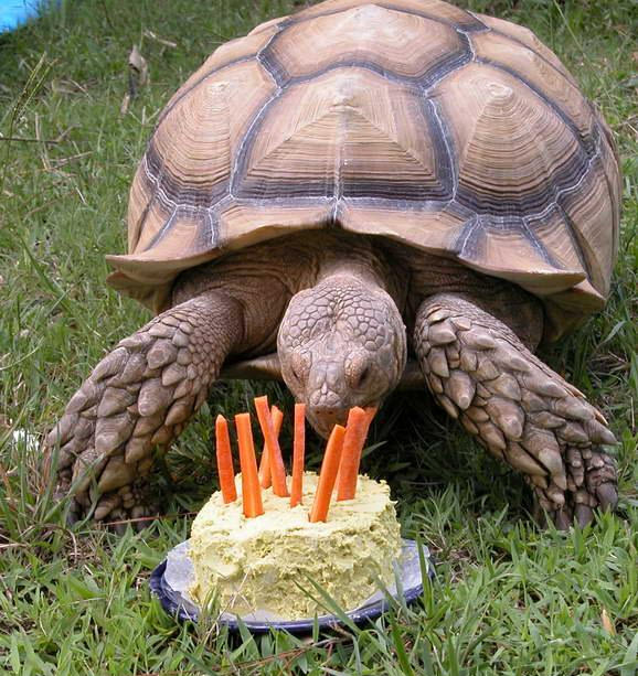 gallery for gt types of pet tortoises