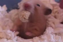 Yogurt-Oats-Hamster-Treats