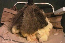 Feather-Duster-Chick-Mom