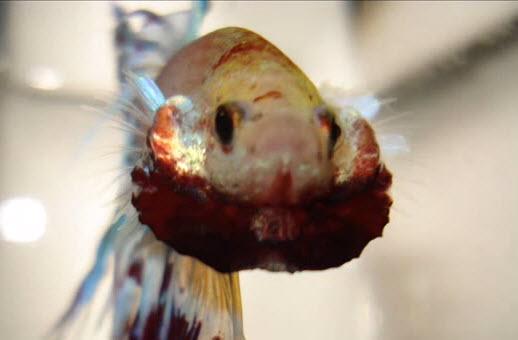 Diy betta flare trick for Betta fish training