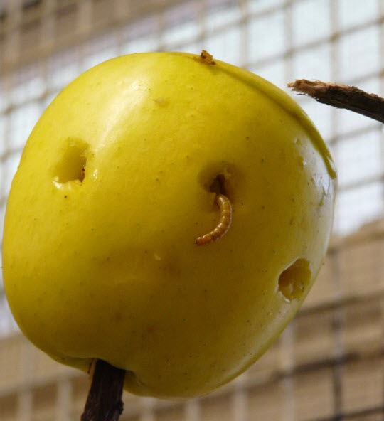 Diy wormy apple treat for How to treat barn wood for bugs