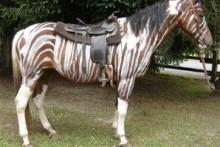 DIY-Horse-Zebra-Costume