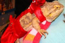 DIY-Bearded-Dragon-Dress